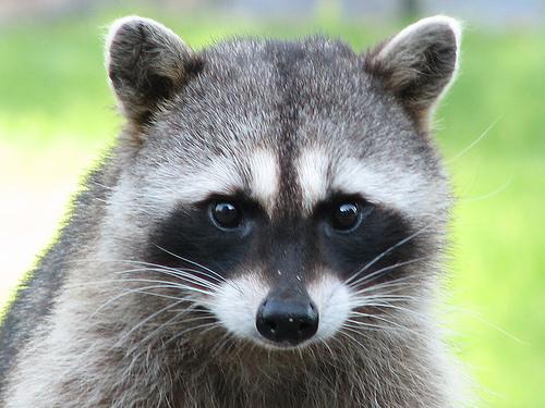 Raccoons(1)